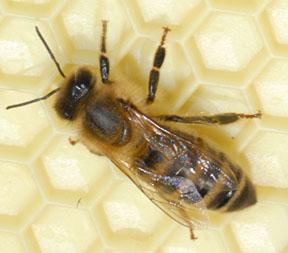 عالم النحل 23241c