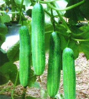 أسس إنتاج الخضر في البيوت central250.jpg